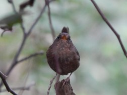 Mouth of the Wren