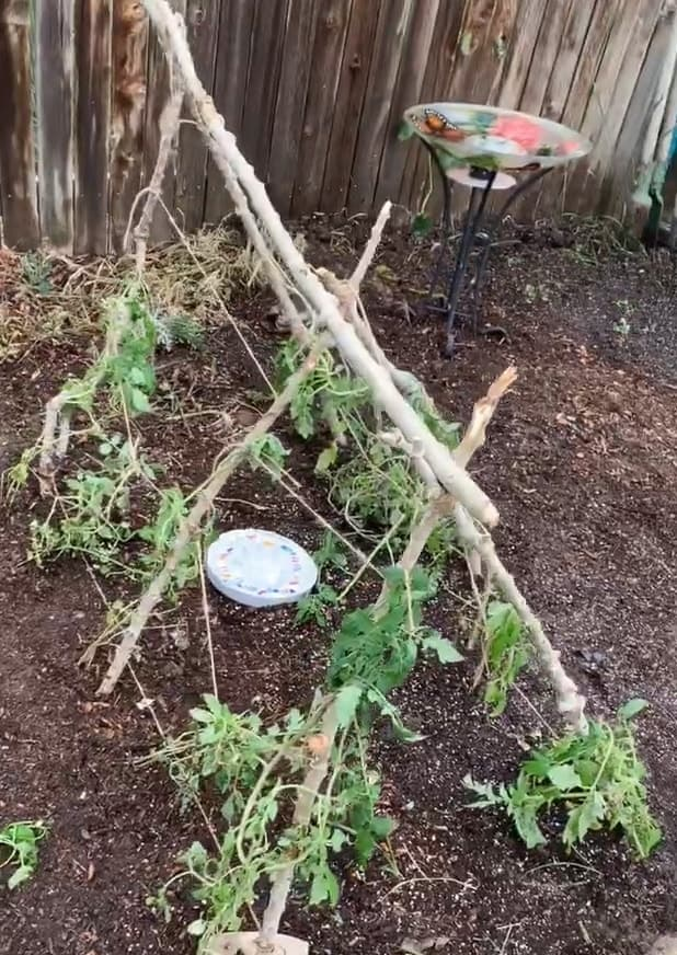 A tomato trellis tepee with tomato plants made out of branches.