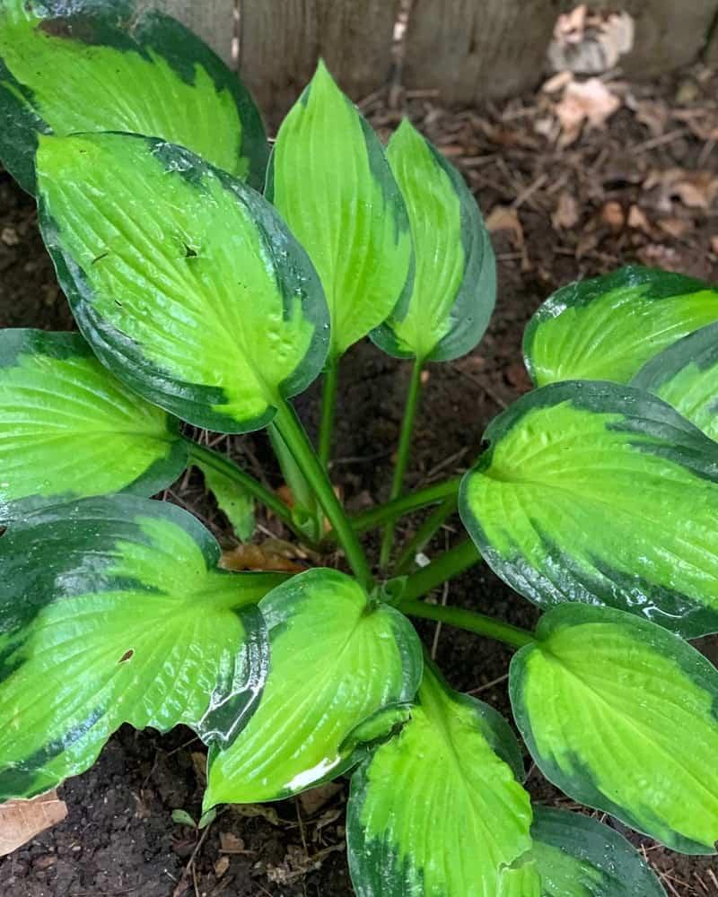 Light green and dark green leaves on a Hosta