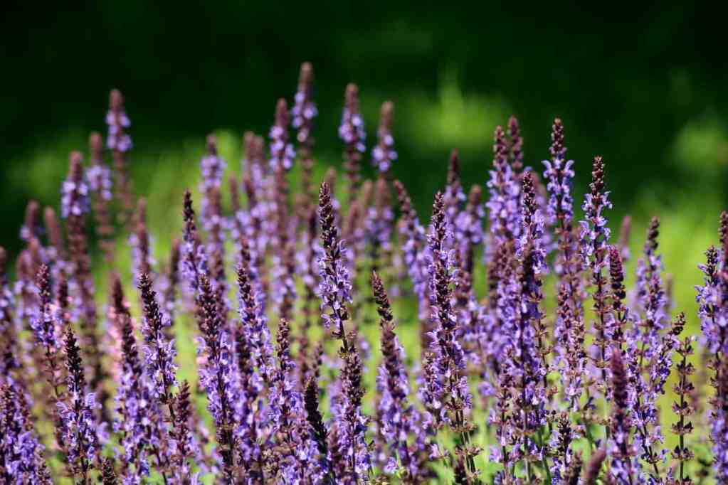 Purple Salvia blooms