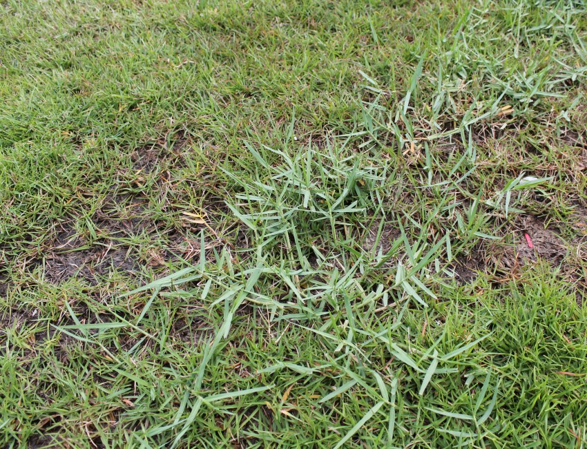 How To Get Rid Of Torpedo grass Baton Rouge Sod