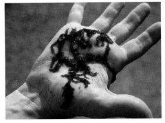 Батрахоспермум, вытащенный из воды, напоминает лягушечью икру. Фотография из книги Algae (Graham & Wilcox, 2000).