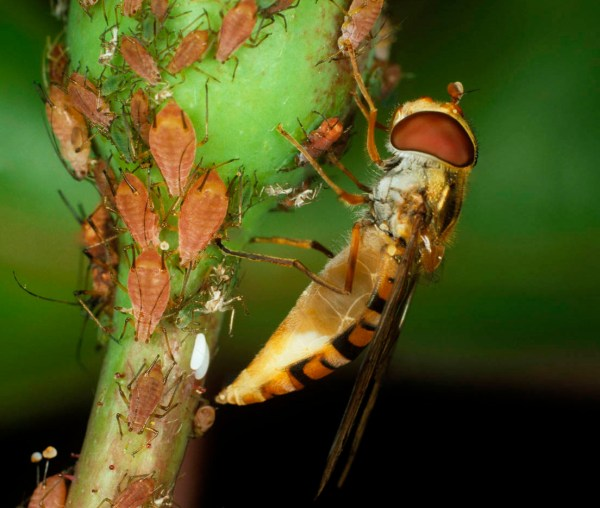 hoverfly eating aphids