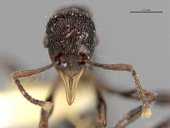 lenomyrmex-hoelldobleri