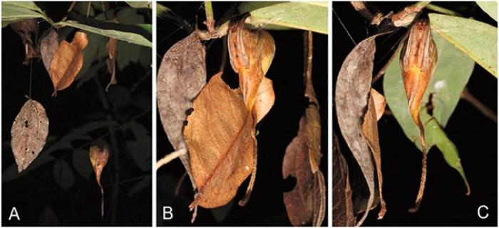 poltys-leaf-mimicry