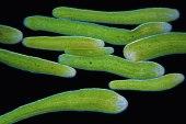 symsagittifera-roscoffensis