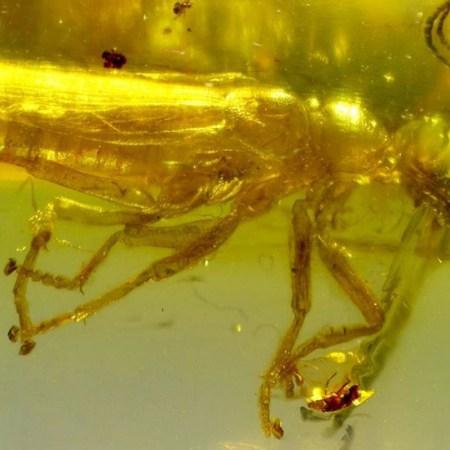 Alienopterus brachyelytrus