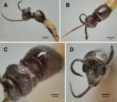Clistopyga caramba1