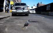 pigeon_cross_the_road