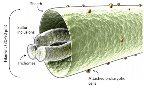 Thiolava veneris
