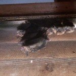 Bats in Attic Big Canoe GA