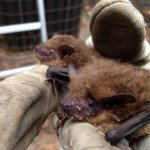 Bats in Johns Creek