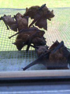 acworth bat