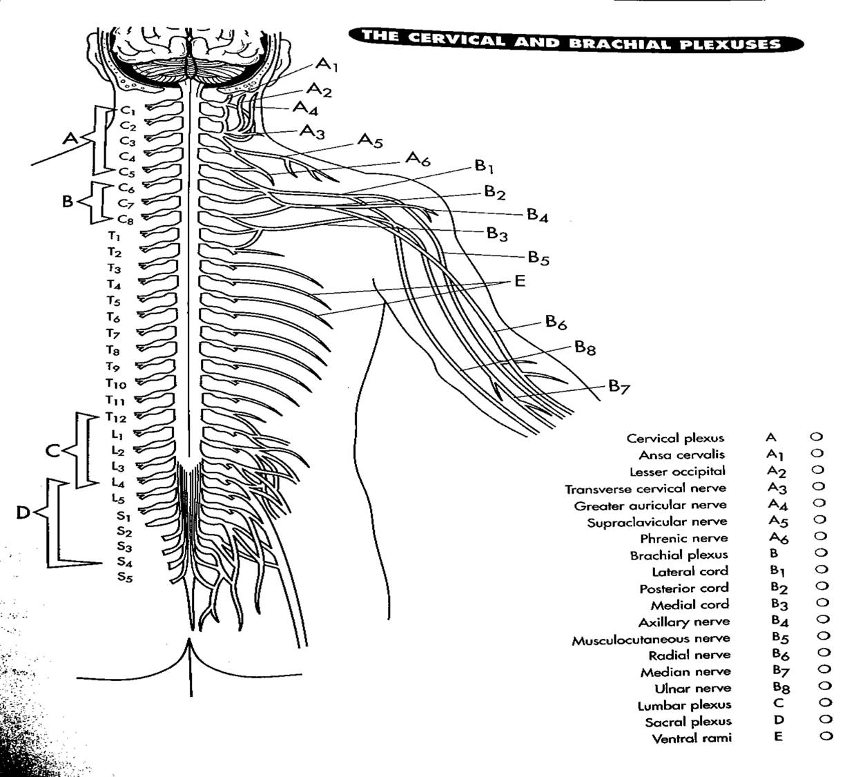 Integumentary System Diagram Worksheet Sketch Coloring Page