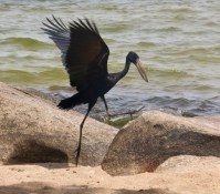 Open Billed Stork landing by Lake Victoria