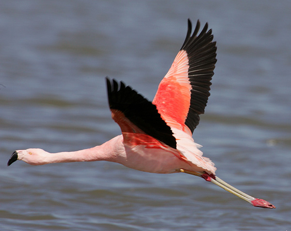 Pink Floyd, the Chilean Flamingo that escaped from the Tracy Aviary and lived a solitary life from about 1990-2005