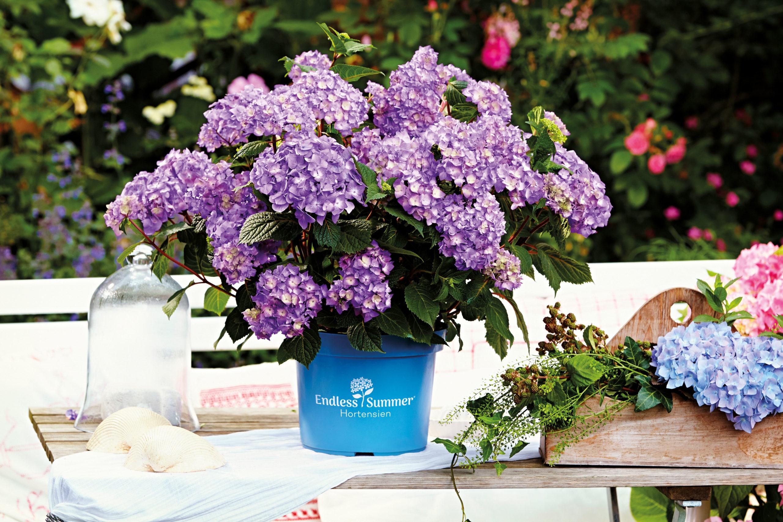 Hortensien in Blüte