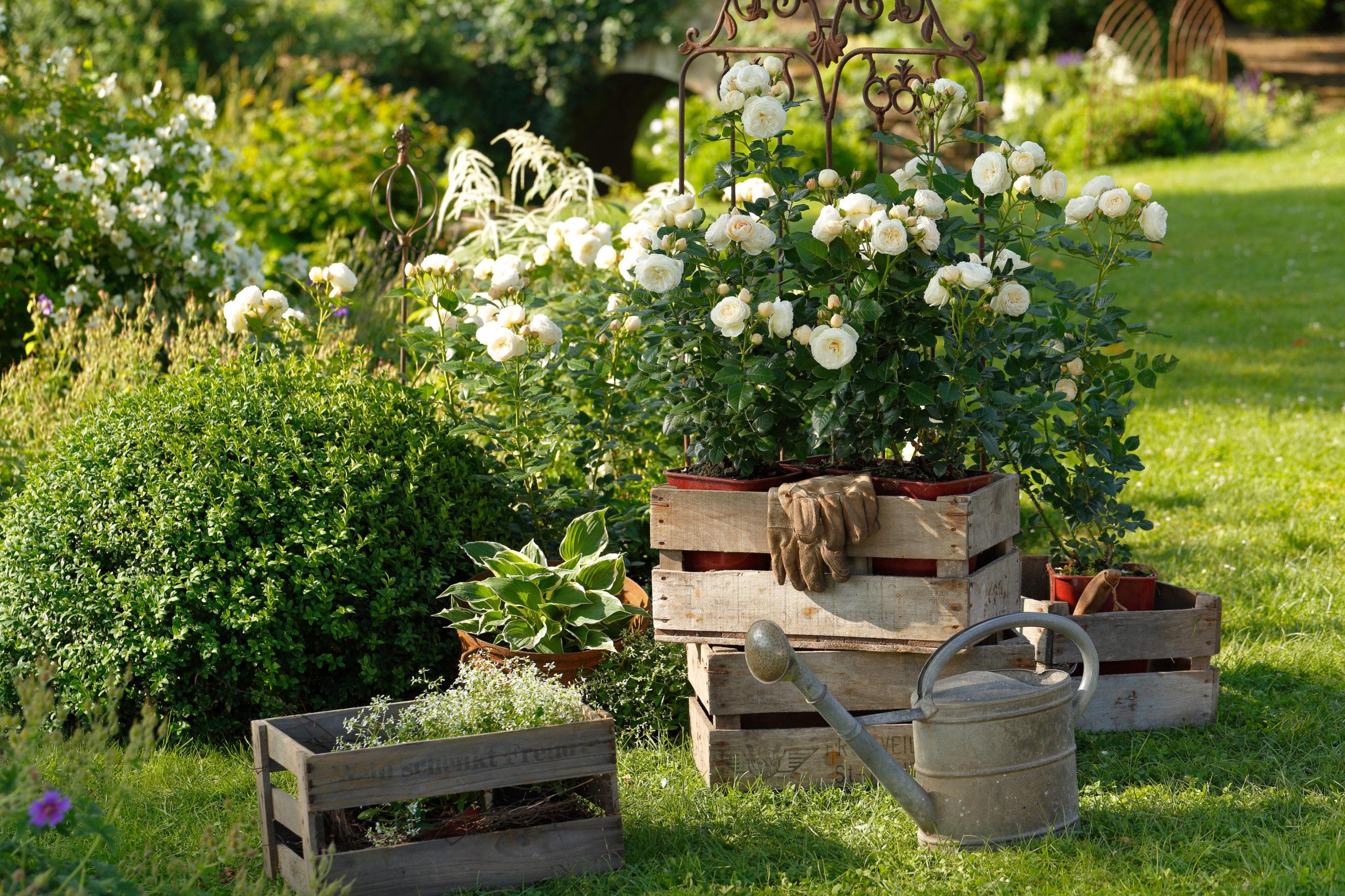 Rosen richtig schneiden und pflanzen