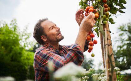 Selbstversorger erntet Tomaten