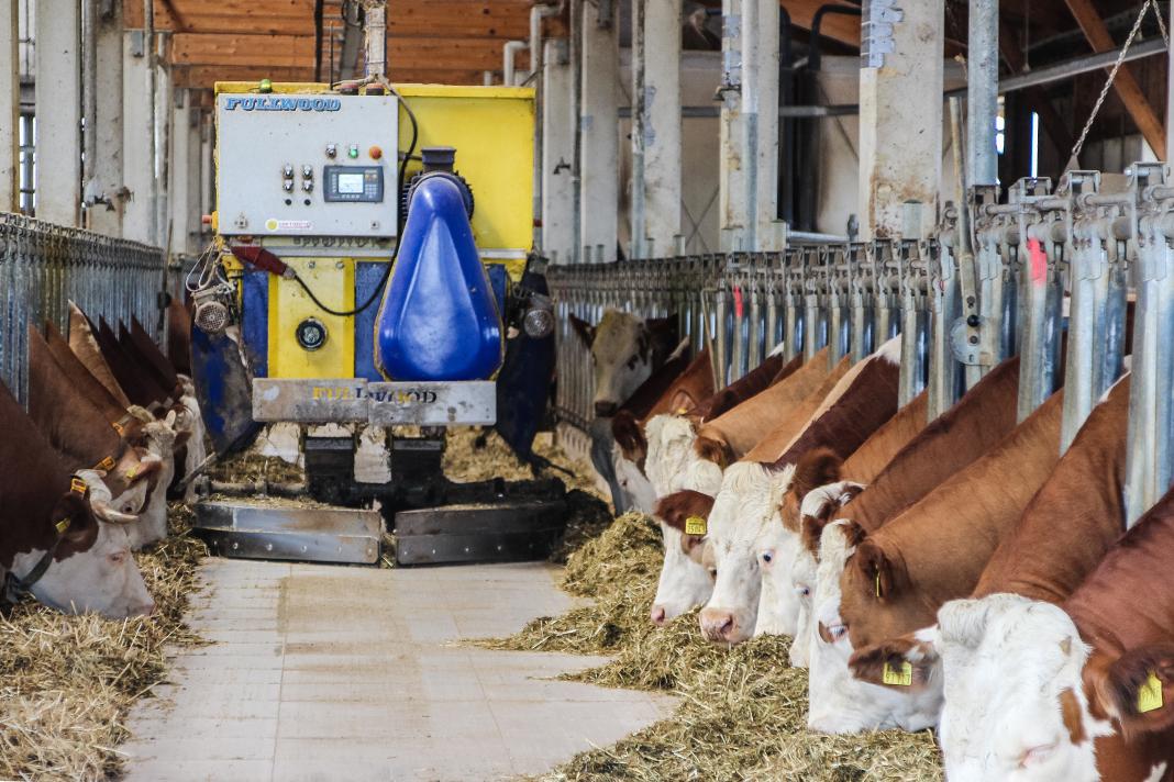 Blick in den Gang eines Kuhstalls mit fressenden Kühen und Fütterungsroboter