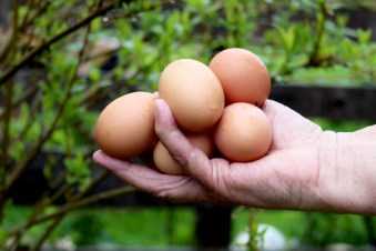 Eier in der Hand Zitttrauerhof