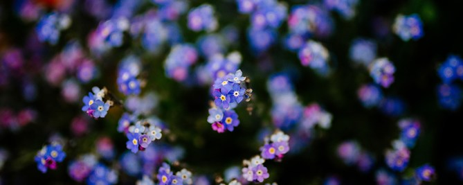 forget-me-not, Brunnera