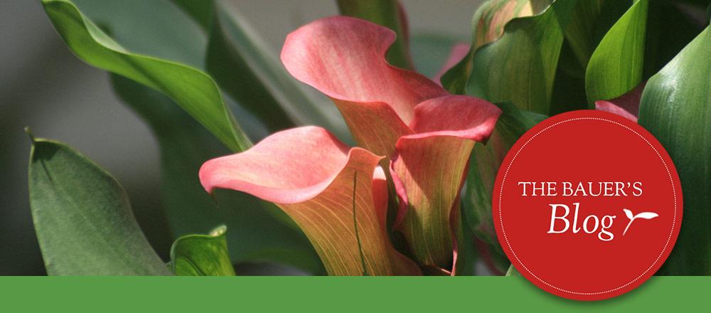 tendering plants indoors header calla lilies