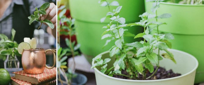 growing mint indoors and outdoors