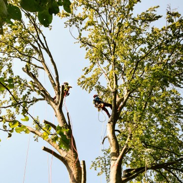 zwei Baumpfleger beim Abtragen eines Baumes
