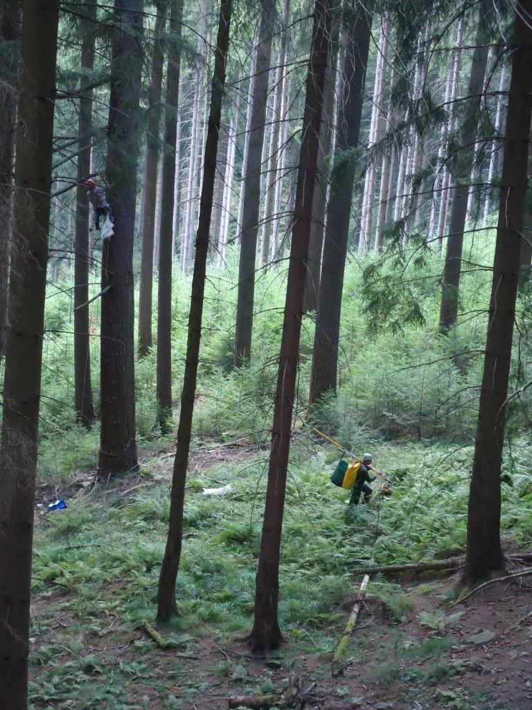 Am Fuße 50m hoher Douglasien in Thüringen.