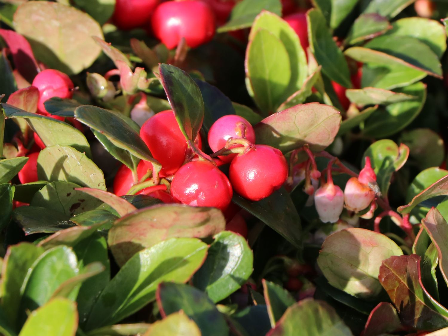 Rote Teppichbeere Gaultheria Procumbens Baumschule