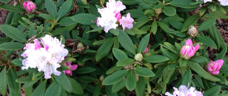2016-01-Rhododendron