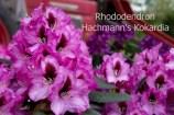 Rhododendron Hachmann's Kokardia