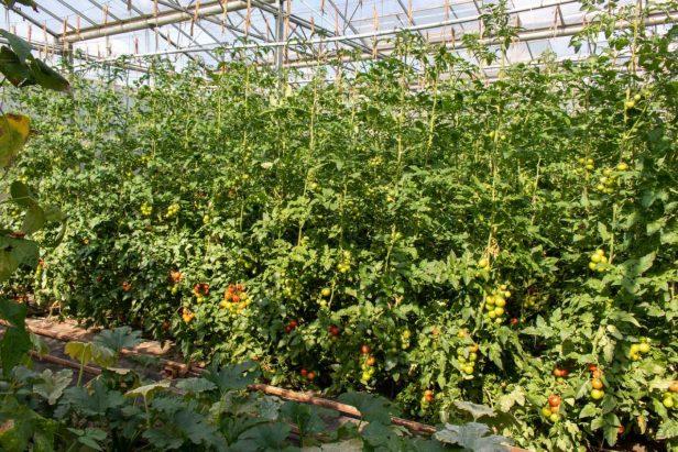 Stefan Ullrich, Da, wo die Tomaten für den Wochenmarkt wachsen… Zu Besuch beim Wochenmarktsprecher und Gemüsebauer Stefan Ullrich