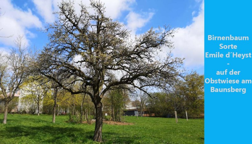 Baunatal, Artenvielfalt, Birnenbaum