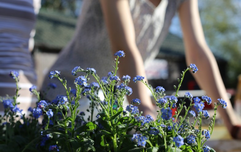 Blaue Frühlingsblümchen
