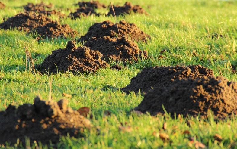 Maulwurfshügel auf einer Rasenfläche