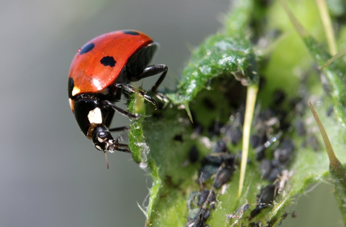 Blattläuse mit Marienkäfern bekämpfen