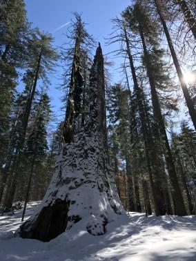 Tuolumne Grove of Giant Sequoias Yosemite