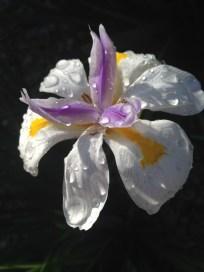black background iris