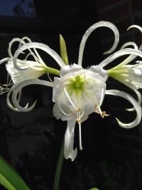 black background lily