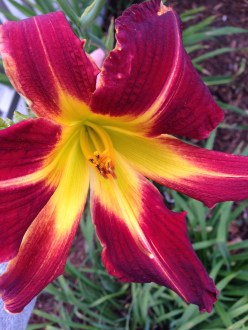 maroon and gold lily