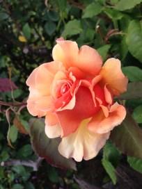 ruffly peach rose