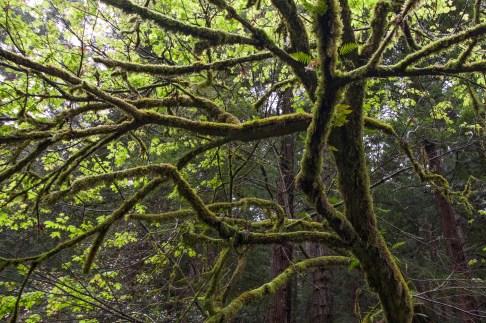 Purisima_Creek_Redwoods11