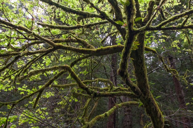 Purisima_Creek_Redwoods11