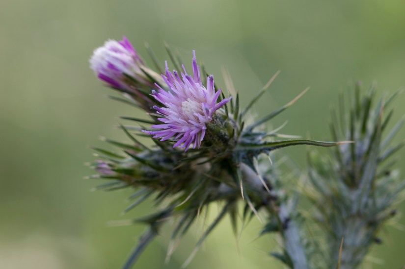 purple thistle blossom