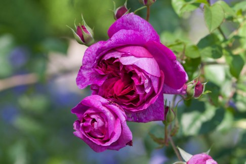 Filoli Purple Roses