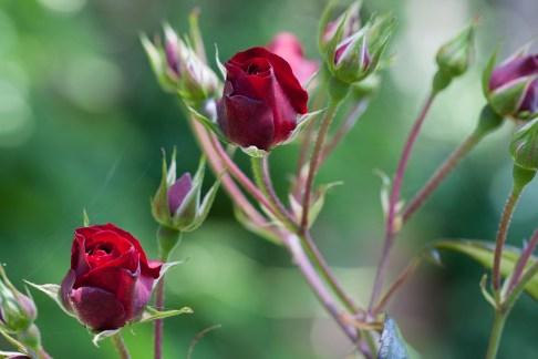 Filoli rose buds