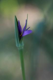Filoli Shy Blossom
