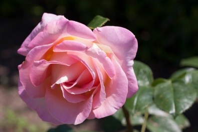 Rose at Filoli_4